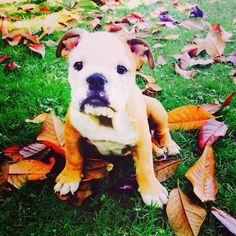 Baby bulldog  Renato