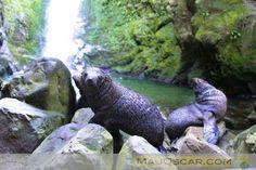 Ohau Stream: o riacho que se transforma numa algazarra de leões marinhos  #Seal #Bablyseals #OhauPoint #Kaikoura #NewZealand