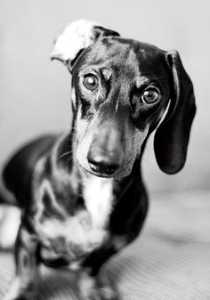 Dachshund, Wiener Dog, little hot dog, hotdog dog; whatever you want to call him...he is so cute!!  I just love the ear that is flipped back!  #dog #pet #wiener dog #photography