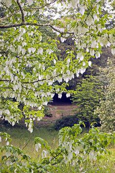 Handkerchief Tree (davidia Involucrata)