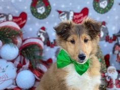 ❤️💮🐾 Kind and #Playful, #Sheltie puppies are #Adorable buddies that are smart! #ShetlandSheepdog pups love to work and play and they will make an awesome family pet with their #Loyal and devoted personality. ▬▬▬▬▬▬▬▬▬▬▬▬▬▬▬▬▬▬▬ #Charming #PinterestPuppies #PuppiesOfPinterest #Puppy #Puppies #Pups #Pup #Funloving #Sweet #PuppyLove #Cute #Cuddly #ForTheLoveOfADog #MansBestFriend #Animals #Dog #Pet #Pets #ChildrenFriendly #PuppyandChildren #ChildandPu Sheltie Puppies For Sale, Dogs And Puppies, Sheep Dog Puppy, Dog Cat, Animals Dog, Cute Animals, Mini Shetland, Shetland Sheepdog Puppies, Lancaster Puppies
