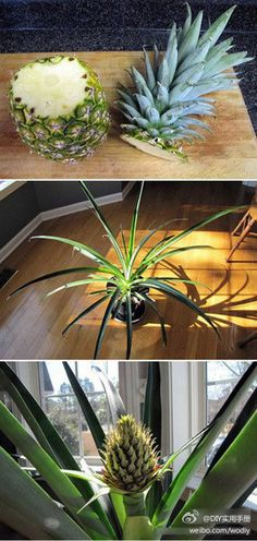 Don't throw away the tops of the pineapple..replant it instead!