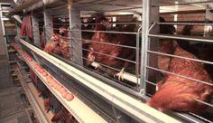 Virikehäkkikanaloissa kanat elävät päällekkäisissä verkkopohjaisissa häkeissä. Yhdessä häkissä on 10–60 kanaa. Yhdellä kanalla on häkissä tilaa 750 cm².
