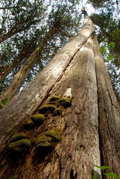 Identification description of western redcedar (Thuja plicata) Canada Holiday, Western Red Cedar, Trees, Garden, Plants, Garten, Flora, Plant, Wood Illustrations