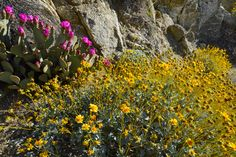 California desert superbloom   Earth   EarthSky. Beavertail cactuses, with their brilliant pink-lavender flowers just beginning to pop. Photo via Ray Boren/NASA Earth Observatory.