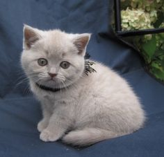 When I move out I want a british shorthair!!