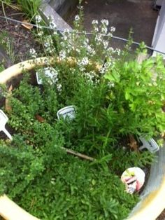 Not even school holidays can stop our herb gardens from looking healthy.