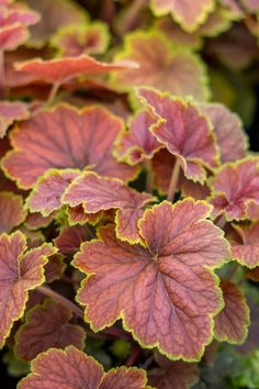 10 Best Varieties of Heuchera