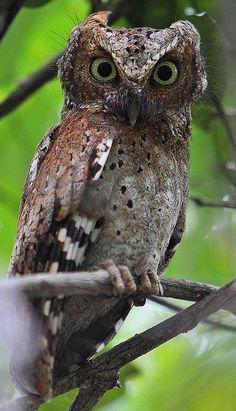 Sokoke Scops Owl (Otus ireneae) Africa