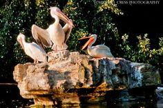 The Pelican Beak