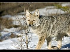 Amazing Facts About Coyotes - YouTube