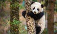 Chrániť irbis a pandy s Disneynature sa narodil v Číne | príbehy | WWF
