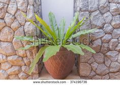 Bird's nest fern in pot for home decoration - stock photo