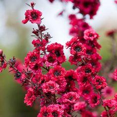 BONSAI MANUKA SEEDS LEPTOSPERMUM SEED INDOOR OUTDOOR FLOWER 1500 SEED PACK