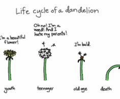 life cycle of a dandelion.