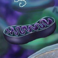 Ilustración de las mitocondrias