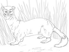 Click To See Printable Version Of Black Footed Ferret Coloring Page