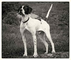 The Elhews!   New Hampshire Kennels English Pointer Dog, Weimaraner, Hunting Dogs, New Hampshire, Animal Drawings, Animals, Pointers, Homesteading, Doggies