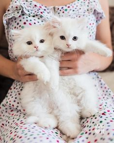 Young woman holding two persian kittens by Jovana Rikalo for Stocksy United Cute Kittens, Fluffy Kittens, Persian Kittens, Fluffy Cat, Pretty Cats, Beautiful Cats, Animals Beautiful, I Love Cats, Crazy Cats