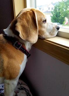 Baby Beagle, Beagle Mix, Cute Dogs And Puppies, Doggies, Animal Pictures, Cute Pictures, Baby Animals, Cute Animals, Neighborhood Watch