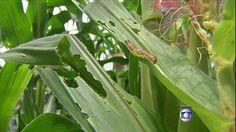 G1 - Milho transgênico não resiste ao ataque de lagartas no Mato Grosso - notícias em Agronegócios