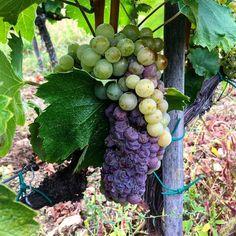 """42 Likes, 1 Comments - Zsirai Winery (@zsiraiwinery) on Instagram: """" #zsirai #zsiraipinceszet #zsiraisisters #hungary #grape #wine #harvest #beautiful #colors…"""""""