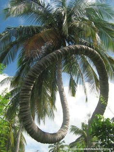 Dragon Coconut tree of Kerala..