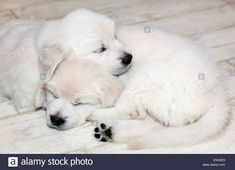 Platinum colored Golden Retriever puppies (6 weeks) Stock Photo Retriever Puppies, Mammals, Stock Photos, Pets, Image, Retriever Puppy, Animals And Pets