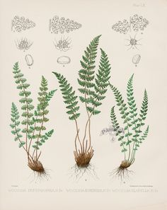 Woodsia Hyperborea, Ilvensis, Glabella from Antique Fern Lithographs