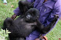 CONGO BABY GORILLA Baby Gorillas, Congo, Monkey, Animals, Jumpsuit, Animales, Animaux, Monkeys, Animal