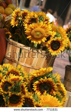 Sunflowers For Sale In Copley Square In Boston Massachusetts Stock Photo 7711831 : Shutterstock
