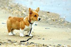Beach lovin' corgi