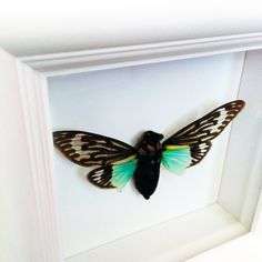 """Real Cicada Insect Taxidermy Art- Butterflies, Butterfly Art, Insect Art, Entomology, Taxidermist, Interior Design, Bugs. A 5""""x5"""" white wood shadow box frame secures a a real cicada insect inside. Very unique! All insects come from preservation farms and lived a full life. They were not harmed in any way for my artwork. Information cards will be included to learn more. Makes a great conversational piece! The beauty of insects and nature come together providing a great conversation piece…"""