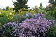 Designs For Garden Flower Beds Aster 'Coombe Fishacre' Garden Beds, Garden Plants, Sun Perennials, Tree Forest, Shade Plants, Begonia, Aster, Fall Flowers, Shade Garden