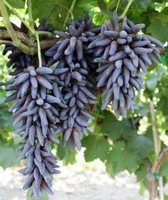 50pcs grape seeds Black thumb grapes Fujimoto Plant New varieties bonsai fruit seeds Edible delicious perennial fruit easy grow