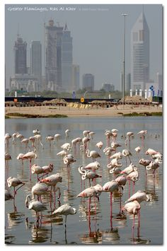 Flamingo sanctuary with Sheikh Zayed Road, Dubai in the background.