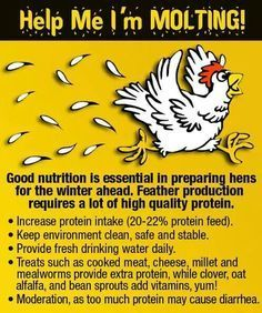 Molting - Why adding mealworms to your chicken's diets is important, especially during molts Chicken Life, Chicken Feed, Chicken Runs, Chicken Coops, City Chicken, Chicken Houses, Chicken Facts, Chicken Barn, Chicken Treats