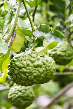 Kaffir Lime or Combava (Citrus hystrix) is native to the Indonesian archipelago. Its intense flavor is reminiscent of lemongrass. It is an essential ingredient in much SE Asian cuisine. Exotic Fruit, Tropical Fruits, Tropical Garden, Ficus, Organic Fertilizer, Organic Gardening, Gardening Tips, Vegetable Garden, Garden Plants