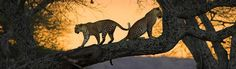 Leopards on the tree in Tarangire National Park Tanzania