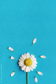 Daisy on a blue background by Ruth Black for Stocksy United