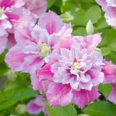 Clematis Piilu [This is a truly lovely plant.  The colors and shape of the blossoms are complex and beautiful, and the foliage color sets them off just right.]