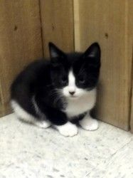 Coal is a Domestic Short Hair kitten.  He is just a baby who would a warm home for winter.  http://www.petfinder.com/petdetail/24740892