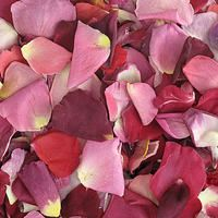 Very Berry Blend Preserved Freeze Dried Rose Petals. We LOVE this blend...how about you?  Non-staining, not slippery. All natural, eco-friendly & biodegradable!   Flyboy Naturals Grows over 100 colors of roses for our petal production www.flyboynaturals.com #rosepetals #flyboynaturals #petals #wedding #romantic #weddingpetals #aisle #bridetobe #ceremony #ceremonyideas #flowers #proposal #VeryBerryblend