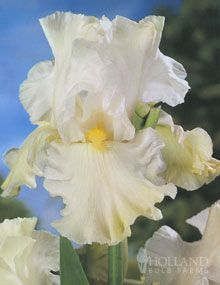 snowy bearaded reblooming iris....I love white iris
