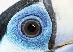 Red-billed Toucan, close-up of eye. Beautiful Eyes, Beautiful Birds, Animals Beautiful, Eye Close Up, Beauty Video Ideas, Eye Pictures, Fotografia Macro, Photos Of Eyes, Human Eye
