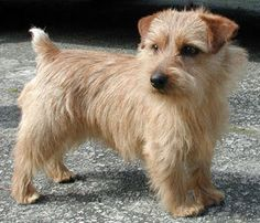 A male adult Norfolk Terrier pretty Norwich Terrier, Terrier Breeds, Terrier Dogs, Cairn Terriers, Wheaten Terrier, Pet Dogs, Dogs And Puppies, Doggies, Pets