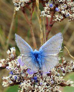 Su ali leggere come polvere di stelle arriva il luccichio cobalto della farfalla del lutto...
