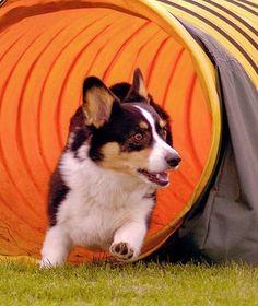 The Daily Corgi: twice as nice: koby + gardener Corgi Dog, Pembroke Welsh Corgi, Dog Cat, Agility Training For Dogs, Dog Agility, Cute Puppies, Cute Dogs, Animals And Pets, Cute Animals