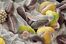 Beautiful microscopic blossomed pollen