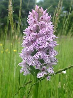 HEATH SPOTTED ORCHID Dactylorhiza maculata ssp. ericetorum Up to 40cm high with up to 50 flowers in the warm south of the UK, can be much shorter and with far fewer flowers (5-20) elsewhere. Tends to grow in clumps. The flower spikes tending to be conical (or 'pyramidal' if botanists must).